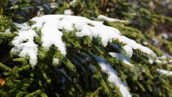 Snow-covered branch of a conifer tree. Symbol for winter and christmas. Panorama format.