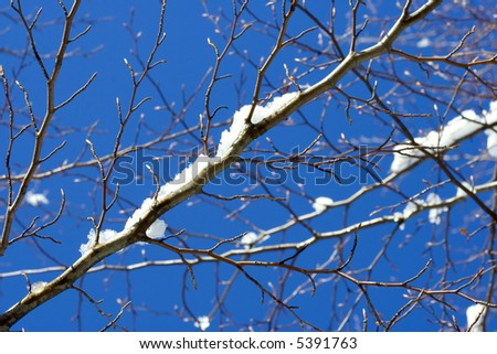 Snow Covered Branches And Crisp Clean Blue Winter Sky