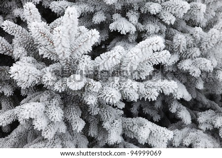Snow covered branches of a fir (spruce) tree