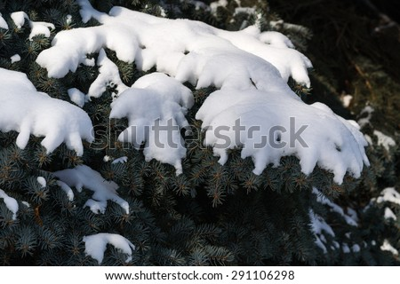 Snow covered branches of a spruce tree in winter. Christmas and New Year holidays and vacations theme. The background of blue sky