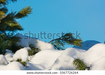 Snow covered branches on a pine tree, and a beautiful blue sky. A beautiful winter detail #1067726264