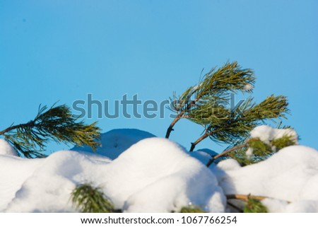 Snow covered branches on a pine tree, and a beautiful blue sky. A beautiful winter detail. Text space. #1067766254