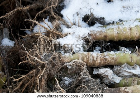 Snow covered cabbage stems with roots on a compost heap