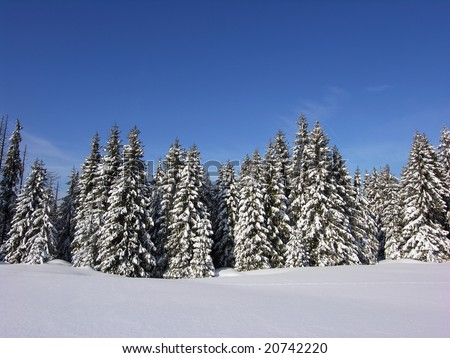 Snow covered Christmas forest. Snow covered spruce trees and blue sky