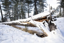 Snow covered dead tree trunk, collapsed and fallen over. Canadian winter scene.
