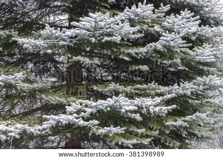 Snow-covered evergreen boughs make for a classic winter image.  Oldfield Oaks Forest Preserve, DuPage County, Illinois.