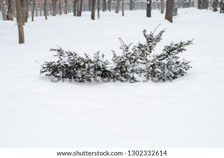 Snow Covered Evergreen  in park #1302332614
