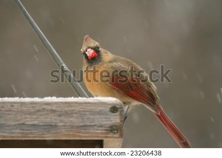 Cardinal Bird Snow on Snow Covered Female Cardinal Feeding At A Bird Feeder Stock Photo