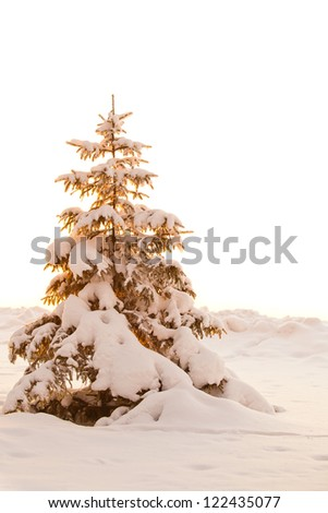 Snow-covered fir tree in golden light