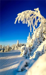 Snow covered fir tree with frozen branch white outdoor scene