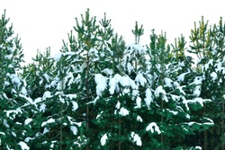 snow-covered fir trees in the winter forest.