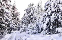 Snow covered fir trees in the winter forest. Winter snowy forest. Fir trees in snowy forest in winter