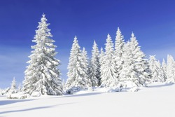 Snow covered fir trees. Panoramic view of the picturesque snowy winter landscape. Magnificent and silent sunny day.