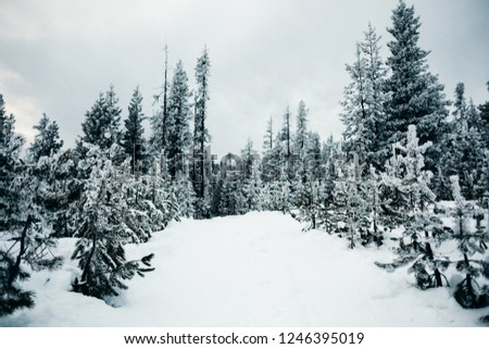 Snow covered ground with large evergreen trees in the background and small evergreens in the foreground #1246395019