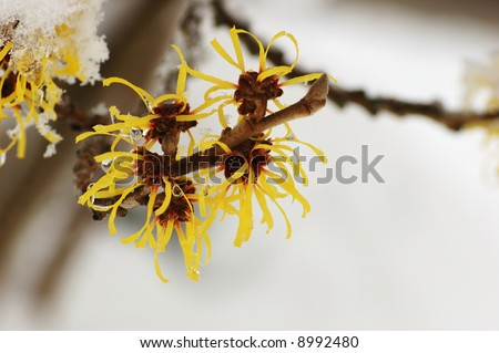 Snow covered hamamelis mollis blossoms in winter month - stock photo