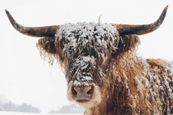 Snow-covered highland cow. Scottish Borders in Melrose, Melrose, United Kingdom.