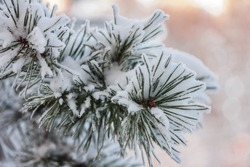 Snow covered pine tree branch on sunny day.  Winter background. Closeup. Copy space