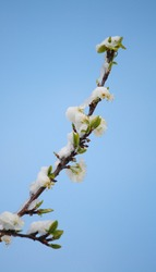 Snow-covered plum blossom on a cold, wintry day in spring against a clear blue sky