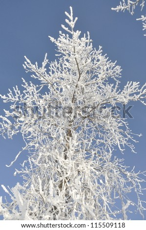 snow covered tree branch on blue sky