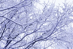 Snow-covered tree branches. The woods after a snowfall. Tinted photo in blue.