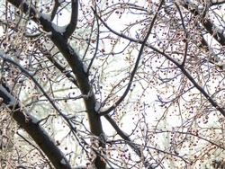 Snow-covered tree branches with red berries in winter. Background of tree branches in the snow during a snowfall.