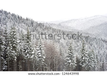 Snow covered trees in Carpathians Mountains. Ukraine
