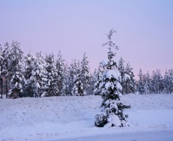 Snow covered trees in the winter at twilight and one alone spruce in the foreground, lilac pink sunset, Polar Circle, Finland