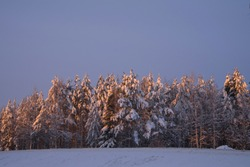 Snow covered trees in the winter forest at twilight, lilac pink sunset, Polar Circle, Finland