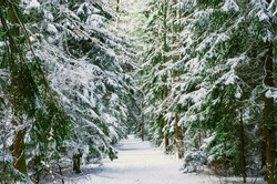 Snow covered trees in the winter forest with road. Way through frozen woodland with snow. Winter landscape. Christmas background. Footpath in pine winter wood. Park with falling snow. Stock photo