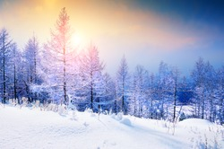 Snow-covered trees in winter forest at sunset. Beautiful winter landscape.
