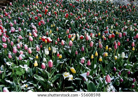 Snow-covered tulips in Washington, DC
