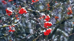 Snow-covered viburnum bush with red berries on a dark background