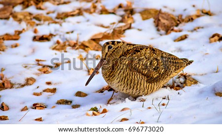 Snow, dry leaves and bird, White, yellow and brown nature background. Eurasian Woodcock / Scolopax rusticola