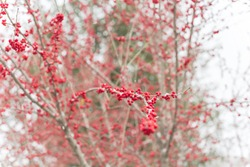 Snow falling on Ilex Decidua (or winter berry, Possum Haw, Deciduous Holly) red fruits on large shrub small tree, no leaves dormant. Blaze of color in the fall in Dallas, Texas of Crimson winterberry