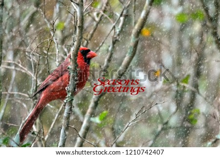 Snow falls on a Male Cardinal perched in a Tree