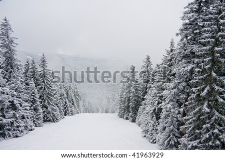 Snow fir and pine trees in the Rila mountain. Ski resort Borovets, Bulgaria