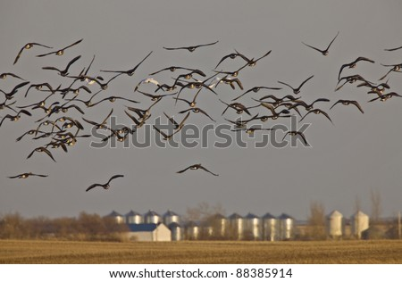 Snow Geese And Whie Fronted Geese Canada in Flight