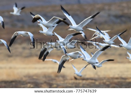 Shutterstock Snow geese Bosque del Apache, New Mexico USA