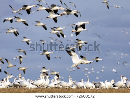 Snow Geese fly at Middle Creek Wildlife Management Area,Lancaster County,Pennsylvania