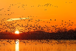 Snow Geese flying into the sunrise at Middle Creek Wildlife Management Area in Lancaster County, Pennsylvania, USA.
