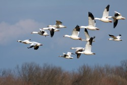 Snow Geese flying north during spring migration.