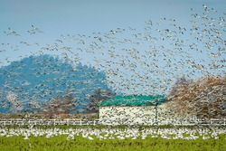 Snow Geese Migrating From Wrangell Island in Alaska to the Skagit Valley, Washington. Snow geese visit in impressive numbers during the winter months, with annual counts often exceeding 50,000.