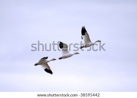 Snow geese migrating south against backlit sunset