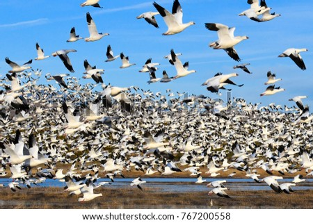 Shutterstock Snow Geese morning blast lift-off at Bosque del Apache National Wildlife Refuge