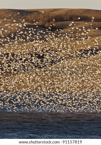 Snow Geese on Buffalo Pound Lake in flight Saskatchewan