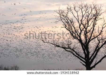 Snow geese on foggy lake at sunrise during spring migration in central Pennsylvania. Stock fotó ©