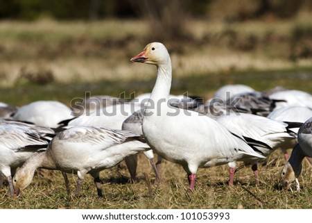 Snow Goose, migratory bird close up shot
