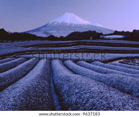 Snow green tea fields at the foot of Mt. Fuji