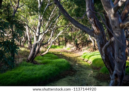 Snow Gum eucalyptus growing around creek in Grampians national park in Victoria, Australia. Forest Landscape on the morning sunlight. Stock photo ©