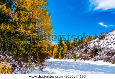 Snow in the autumn forest. Autumn trees in winter snow forest. Snow in autumn forest